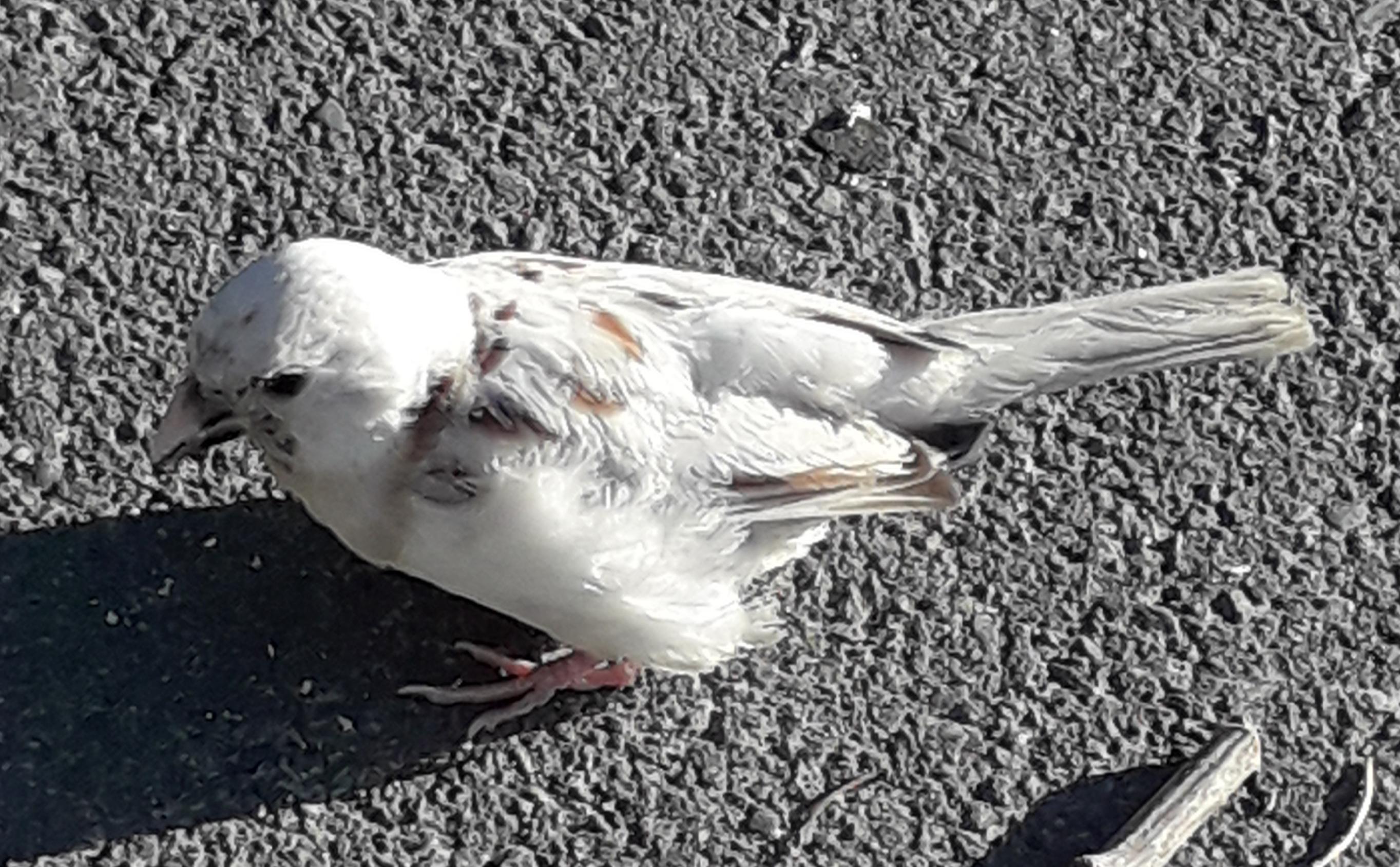白いスズメにバッタリ会いました。